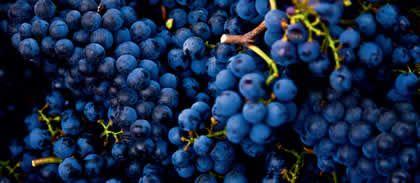 uvas tintas carregadas