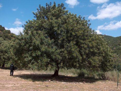 ceratonia-siliqua-nativa