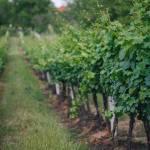 cricova-winery-vinhas-3