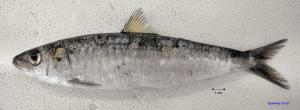 sardina-pilchardus-foto