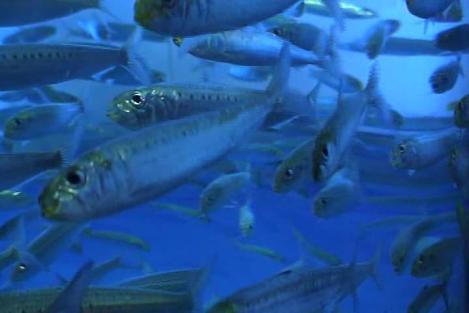 sardinhas-1