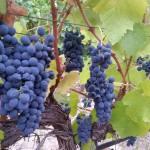 CM Wines para rosé 4