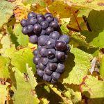 Pinot noir em Sancerre