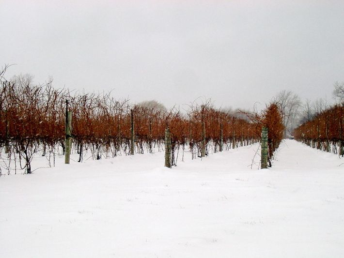 vinhas para ice wine