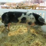 capa Porco Malhado de Alcobaça