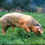porco bisaro