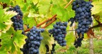Cabernet-Sauvignon (1)