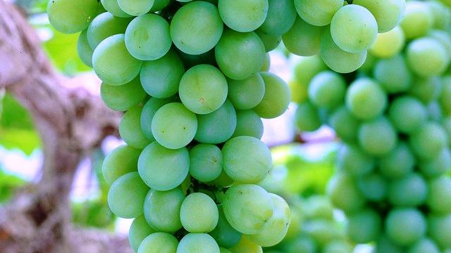 Chambourcin verde
