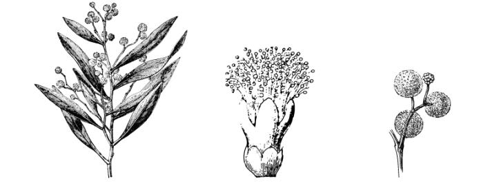 Plantas que podem ter taninos
