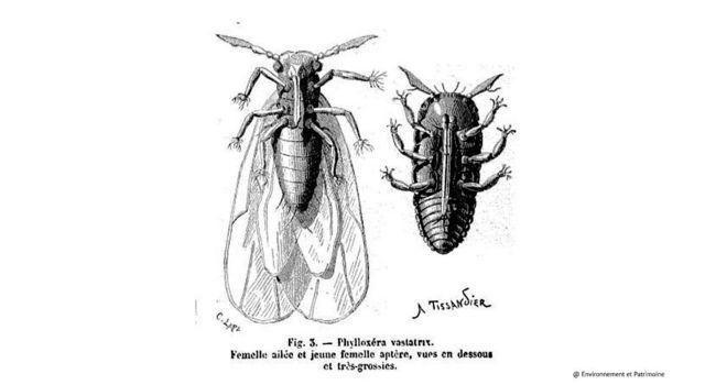 discovering-madeira-imageLinkphylloxera-vastatrix-1280x720