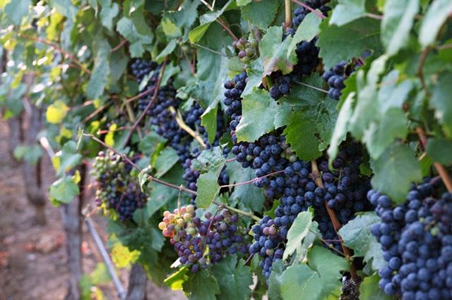 Petit-Verdot-Wine-Grapes-Sonoma-Wine-Folly-640