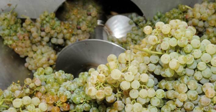 Desengace de uva branca em Felgueiras