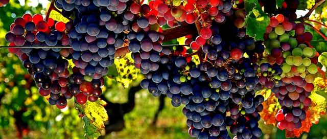 Uvas para vinho na Geórgia