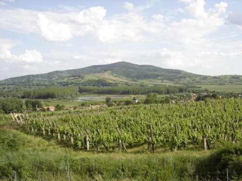 vinhas para o Tokaji na Hungria
