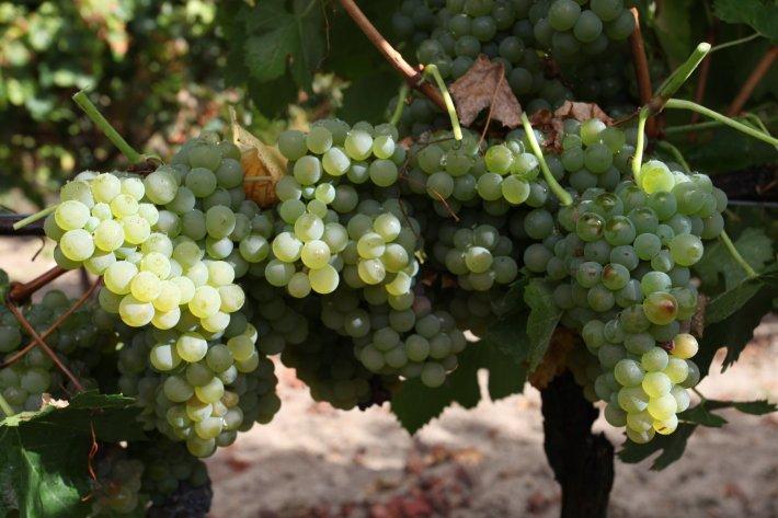 Perfumada e Delicada Casta Branca Chardonnay 2