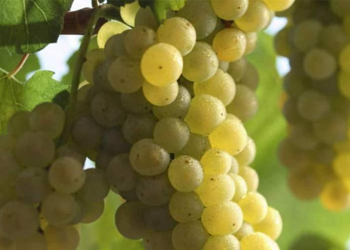 Perfumada e Delicada Casta Branca Chardonnay 8