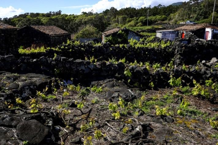 Vinhas do Pico um Património Mundial e Histórico da UNESCO 13
