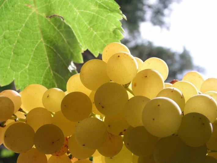 Sabia que Cleópatra adorava vinho de Moscatel 2