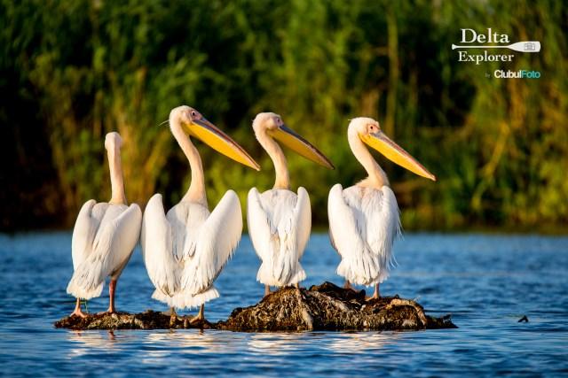 Pelicanii: o prezenta comuna in Delta dar subiectii unor fotografii excelente