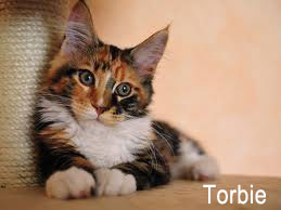 Torbie aka Tortoiseshell Tabby Cat with white socks and chest