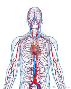 sistema circolatorio primario