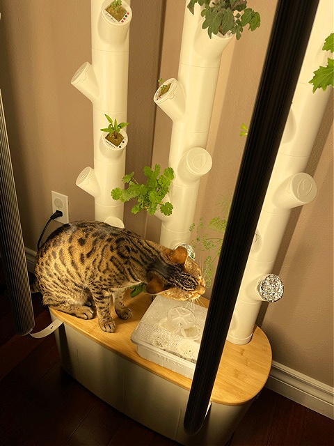 cat eating hydroponic crop