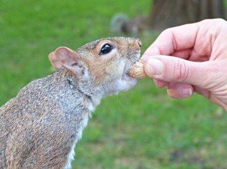 Les écureuils de Central Park sont du genre gourmands