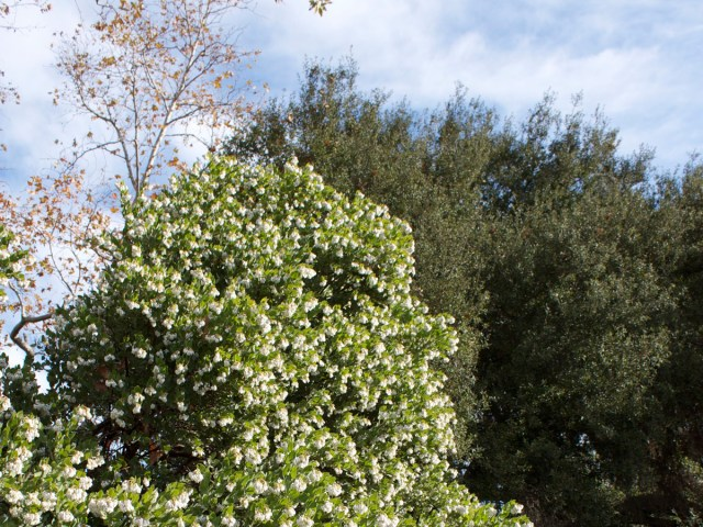 Arctostaphylos refugioensis, Photo by Laura Camp ©Tree of Life Nursery