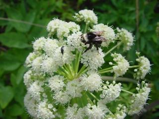 A bee in a California native garden