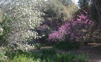 Ceanothus (white) and Cercis (pink), Photo by Laura Camp © Tree of Life Nursery