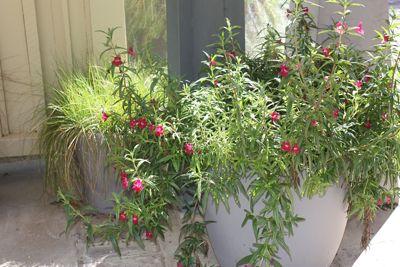 Mimulus 'Ruby Silver' (Hybrid Monkeyflower), Photo by Laura Camp at Rancho Santa Ana Botanic Garden