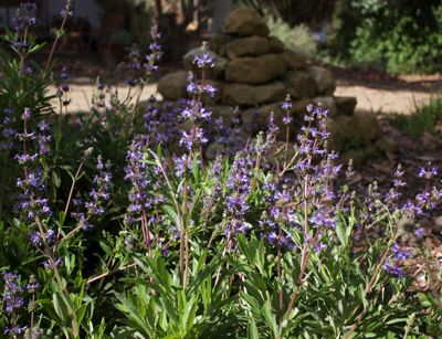 Creeping Sage Hybrid, Salvia 'Dara's Choice', Photo: Laura Camp ©Tree of Life Nursery