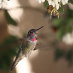Anna's hummingbird male with gorget growing in