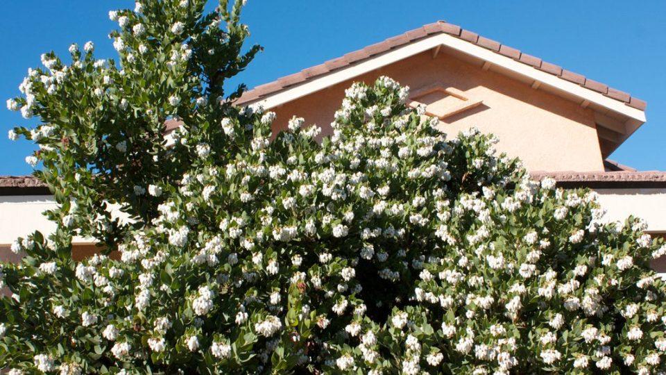 White flower clusters on Arctostaphylos refugioensis