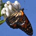 Monarch butterfly nectars on Manzanita flowers