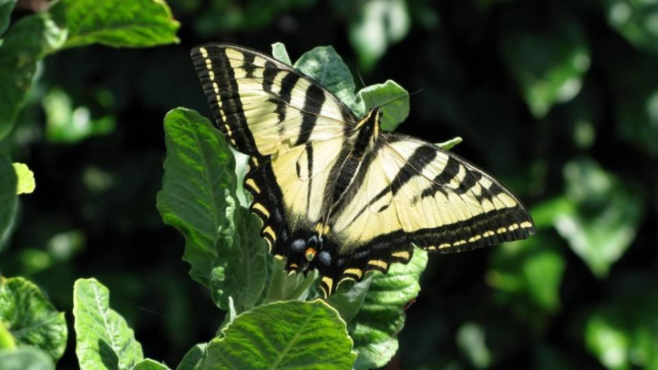 Pale Swallowtail butterfly on Eriogonum giganteum
