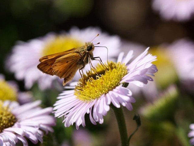 Erigeron glaucus - Seaside Daisy and Skipper Butterfly. Photo by Laura Camp.