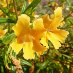Mimulus aurantiacus (Monkeyflower). Photo by Laura Camp.
