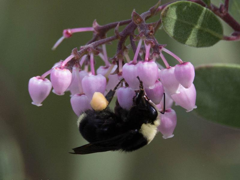Bee on manzanita. Credit Stephen Rosenthal.