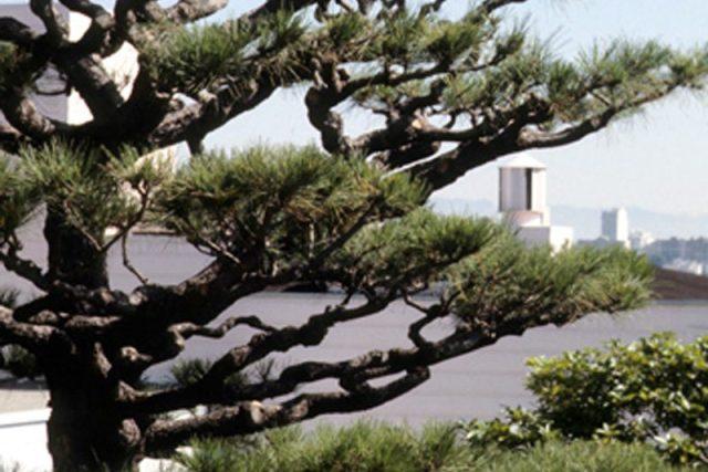 P. radiata (Monterey pine)