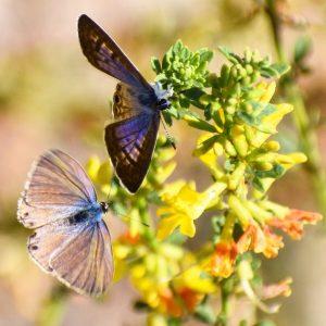 Butterflies on Deerweed Photo: Tony Tubbs