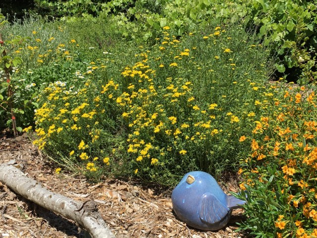 Lizards Tail, Seaside Daisy, and Sticky Monkey Flower. Photo: Veronica Bowers
