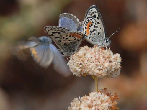 El Segundo blues on Sea Cliff Buckwheat(Eriogonum parvifolium) Photo: Ann Dalkey