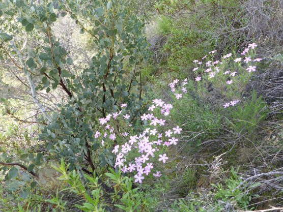 Prickly phlox (Linanthus californicus, synonym Leptodactylon californicum) brightens a steep slope with bigberry manzanita (Arctostaphylos glauca) at Santa Clarita Woodlands Park, Los Angeles County. Photo: Kendra Sikes