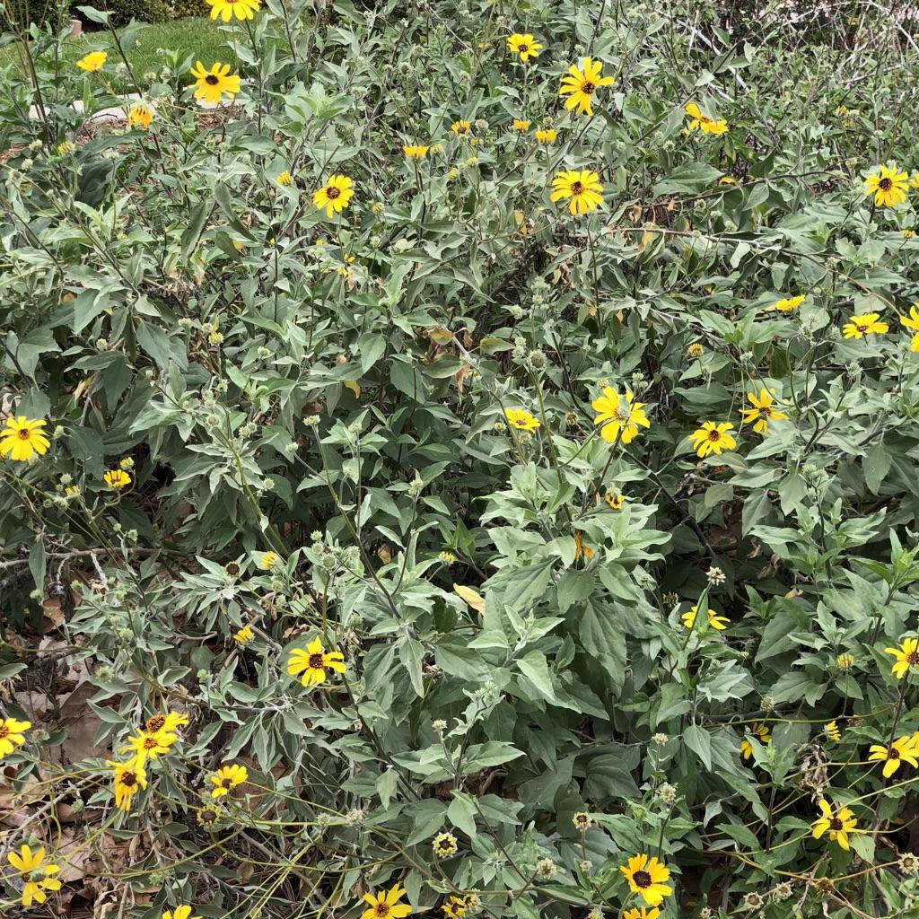 California Native Plant Landscape Design Examples: Landscaping With California Native Plants