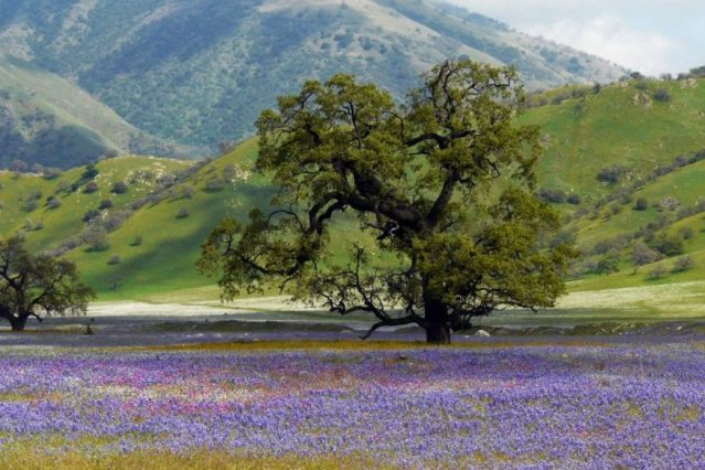 Tejon Ranch, one of California's last and most significant native grasslands. Photo: Nancy Buck