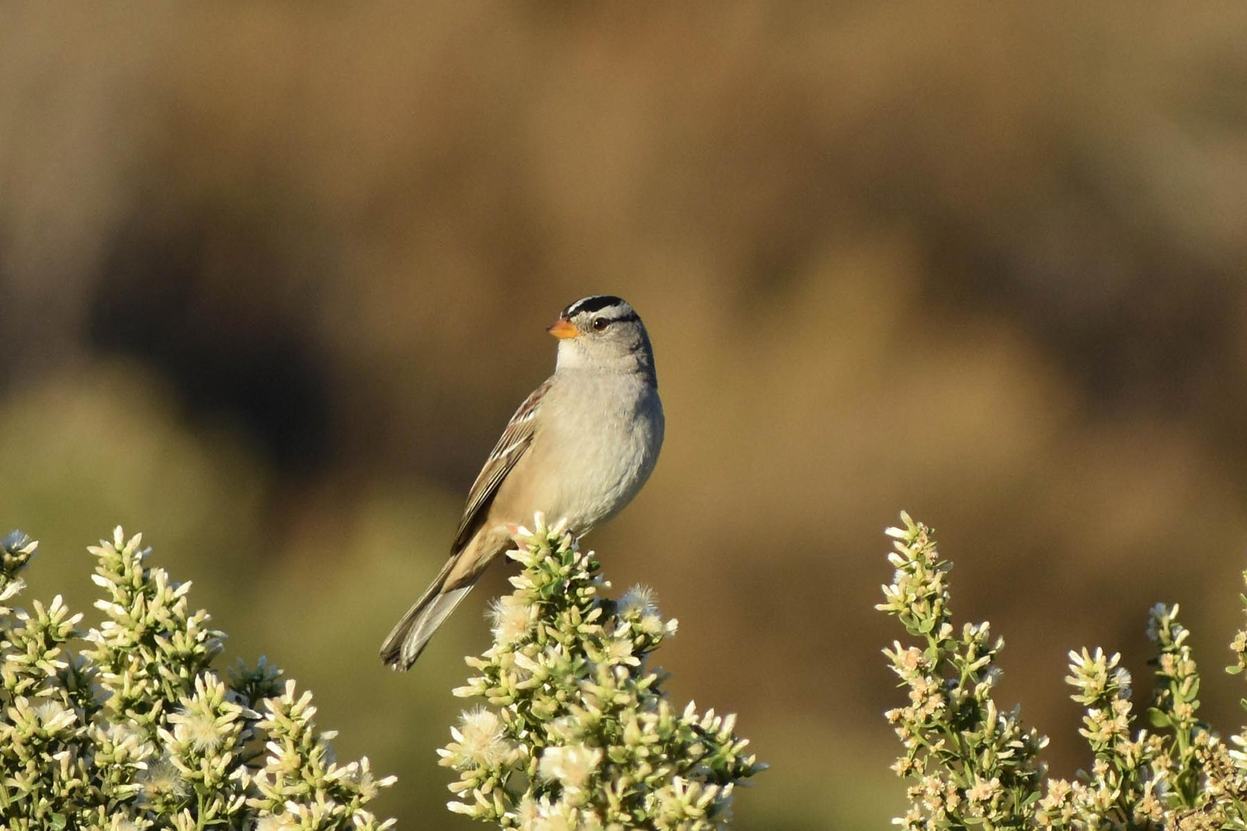 A white-crowned sparrow rests atop coyote bush (Baccharis pilularis). Credit: Tony Tubbs.