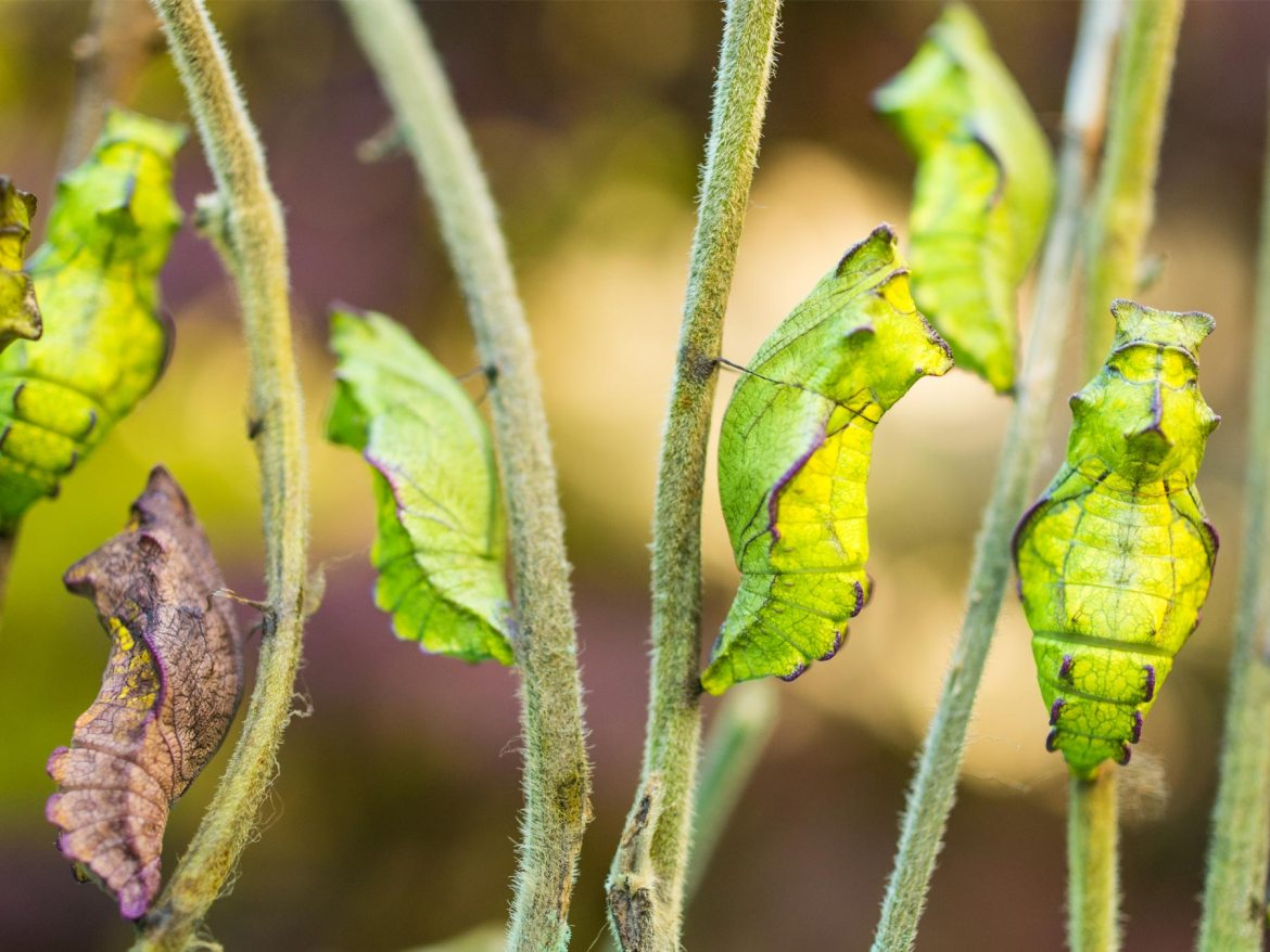 Swallowtail chrysalis on California pipevine. Photo by Tim Wong.