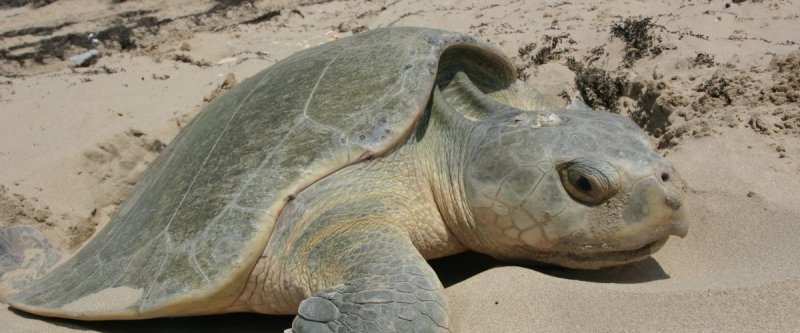 Sea turtles 'cold-stunned' by late migration