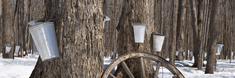 Sap buckets on maple trees